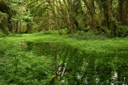 Quinault Rain Forest Olympic National Park Seattle