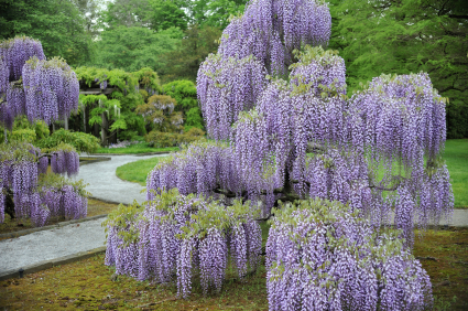 Wisteria Garden In Spring At Longwood, Pennsylvania
