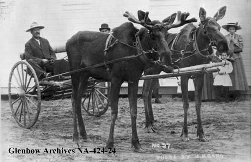 12952d1200170222 raising moose alaska na 424 24 raising moose in alaska (metlakatla safety, farm, friendly) (ak