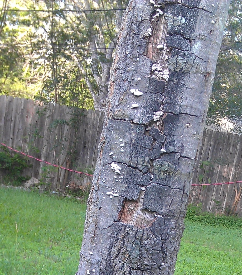 http://www.city-data.com/forum/attachments/austin/112395d1369961249-help-needed-identifying-tree-disease-tree3.jpg