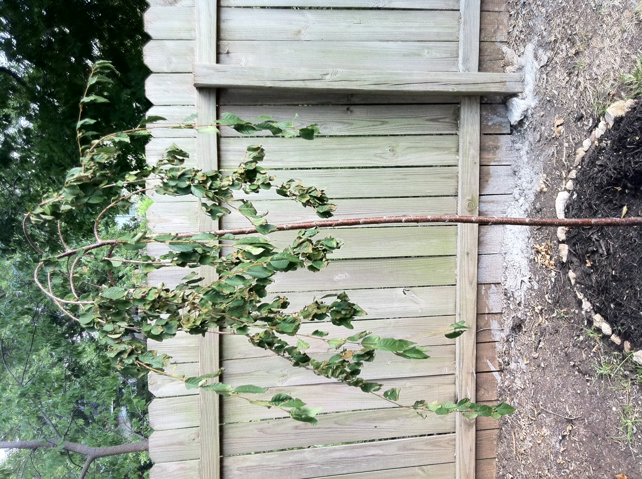 Weeping Cherry Blossom Wilting Urgent Help Needed Red Oak Howe For Sale Buy Austin Texas Tx City Data Forum