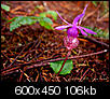 California the Beautiful - Redwoods and Rhododendrons-redwood_orchid_600.jpg