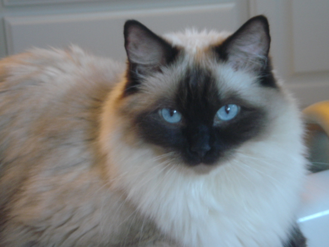 questions about diffrent breeds of cats feline siamese throw breed of cats 640x480