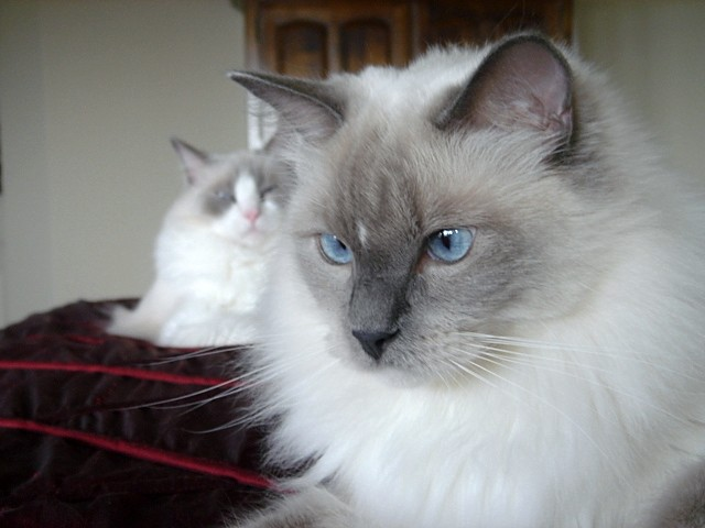 Asian Names For Siamese Cats