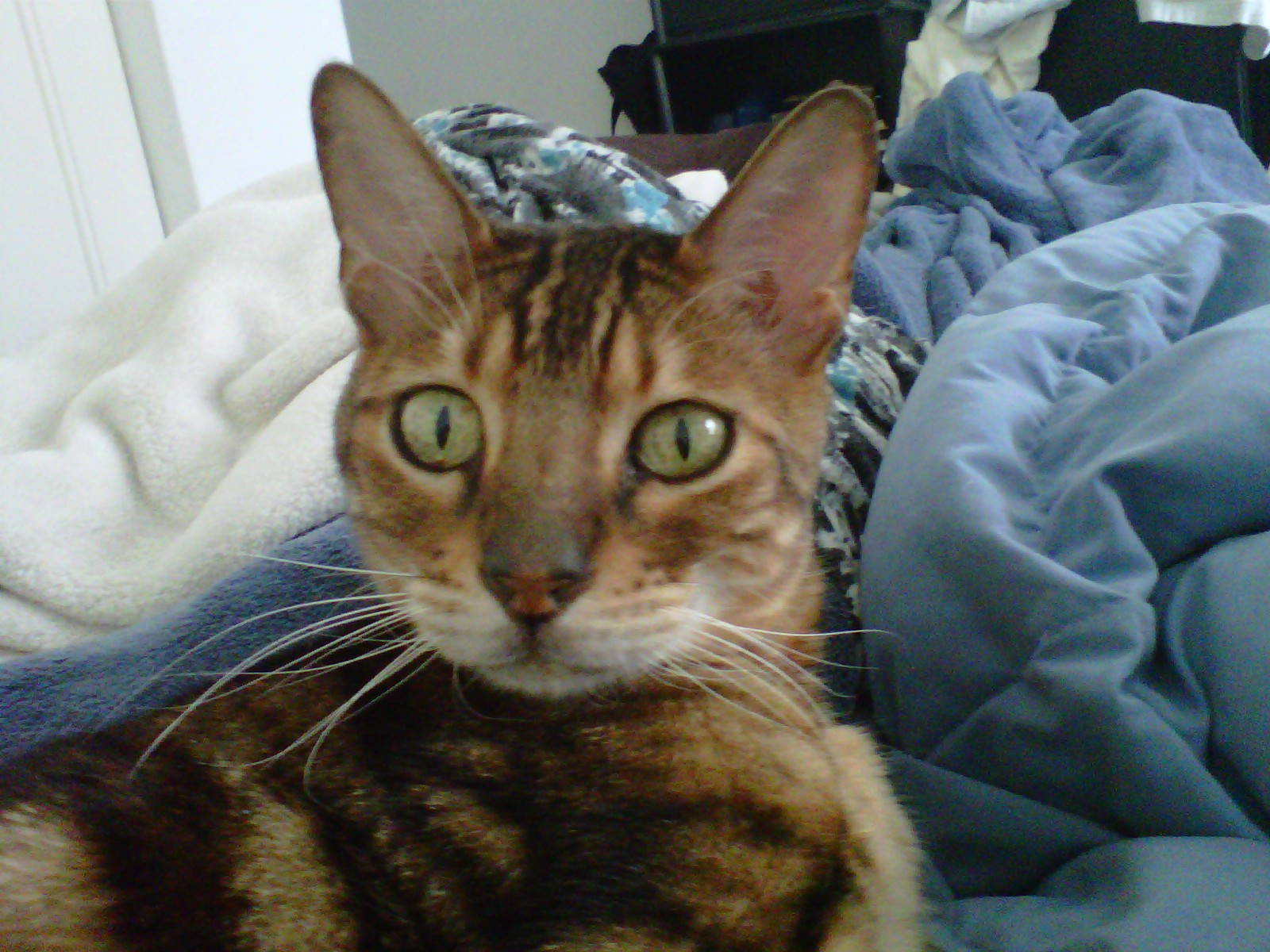 Bengal Cats (kittens, declawed, siamese, breeders) - - City