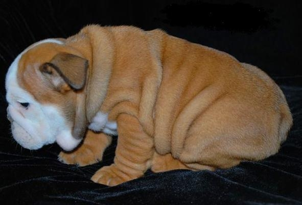 two gorgeous english bulldog puppies for adoption buy and sell puppies for adoption 591x401