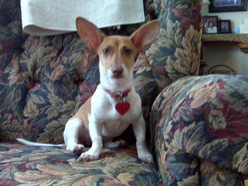 Gardner Nc Lost Puppy Ruby 6mo Female Dachshund Chihuahua Garner