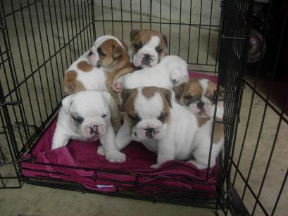 free puppies cape girardeau mo area se missouri classified