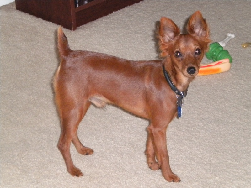 Lost Miniature Pinscher 1 000 00 Cash Reward