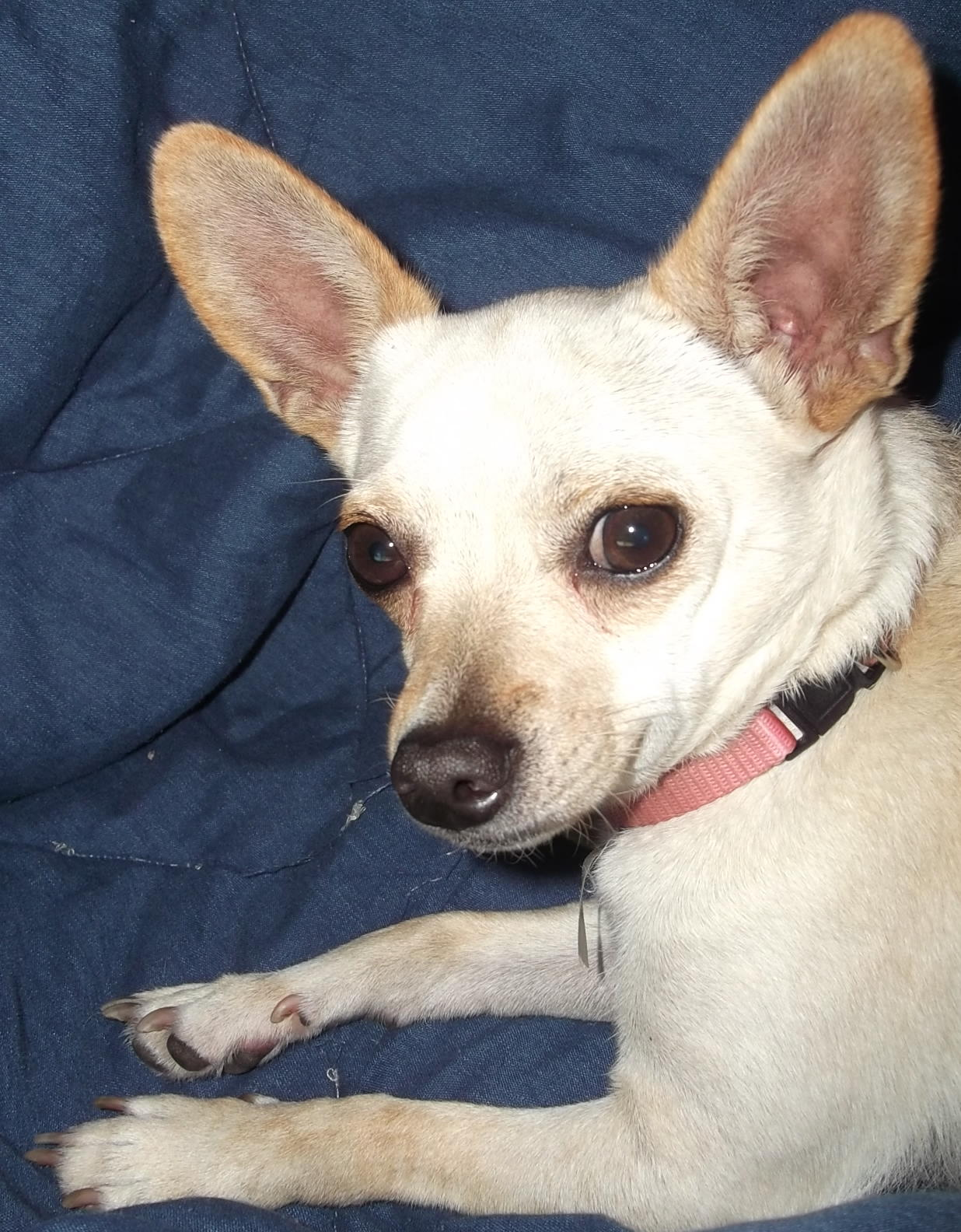 Lost Chihuahua In Greenville ,NC Dscf1566 2   Craigslist Greenville