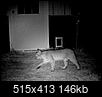Wow, just saw a mountain lion behind our house-bobcat.png