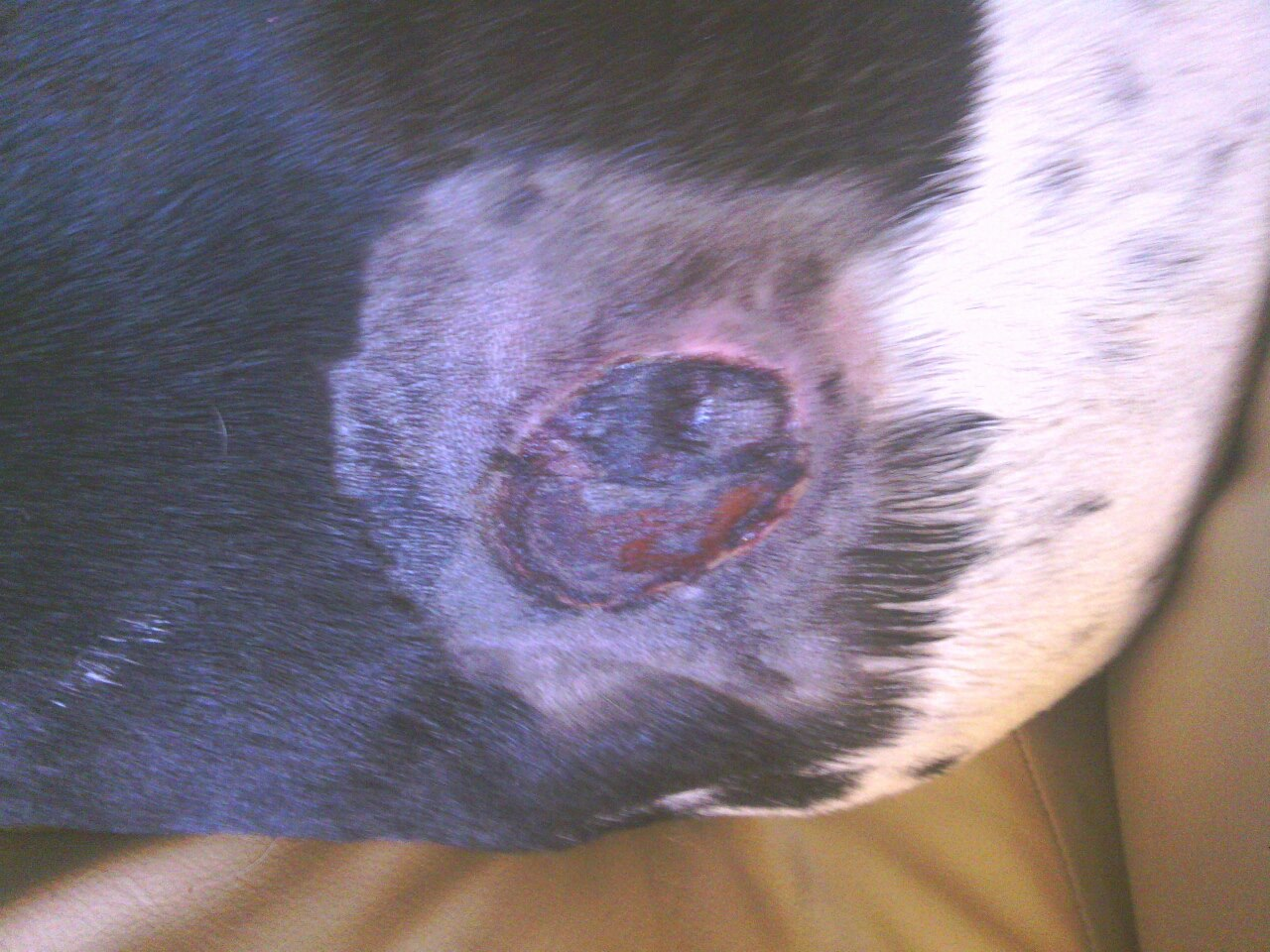 Brown Recluse Bite On Dog Treatment