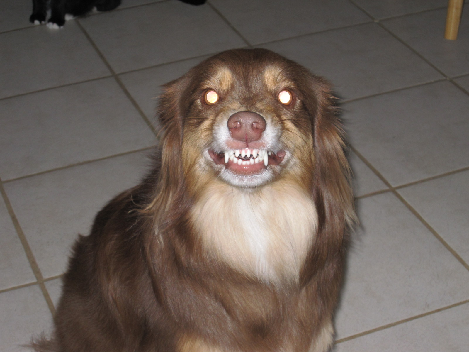 Dog Shows Teeth When I Come Home