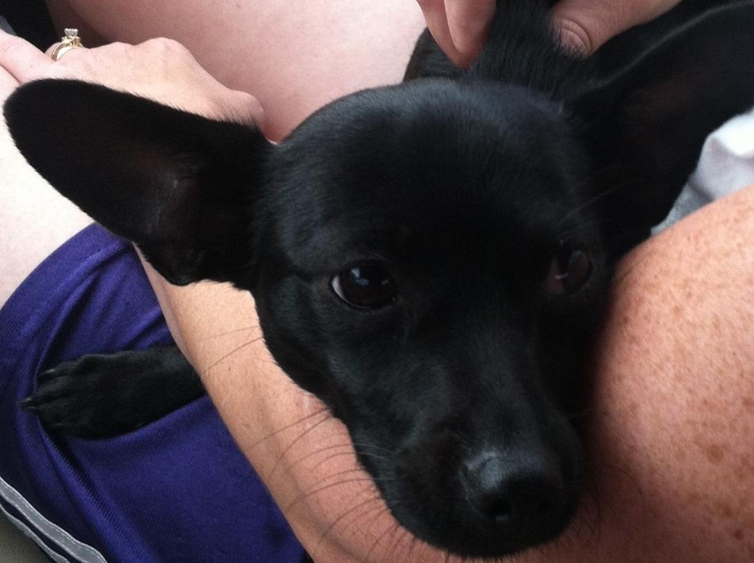 Chihuahua Lab Mixjenniferie