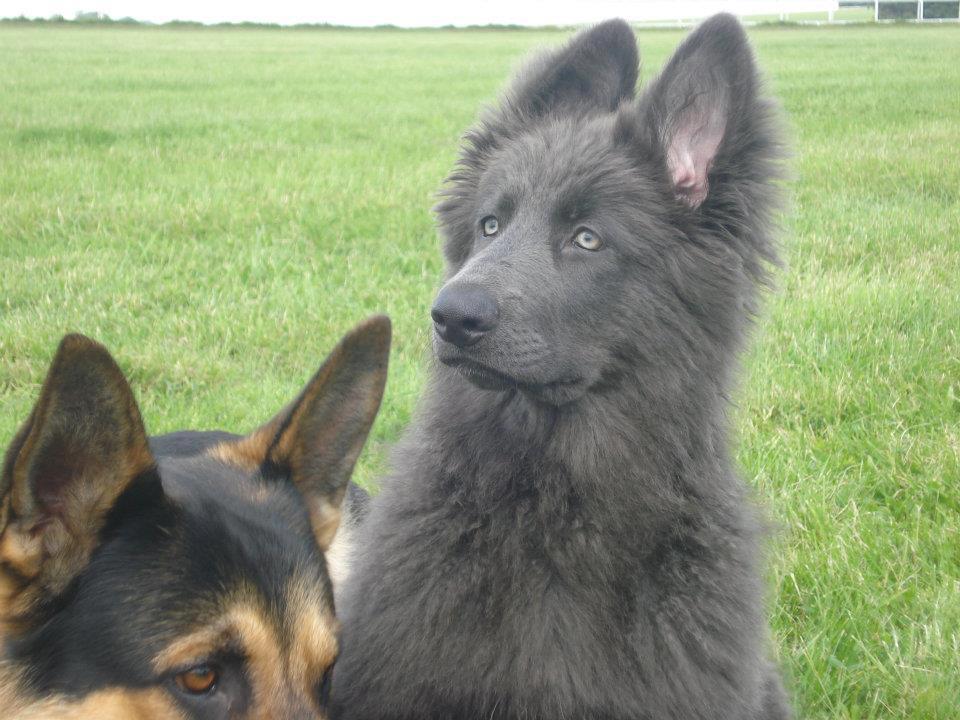 German Shepherd Blue And Tan of a Blue German Shepherd