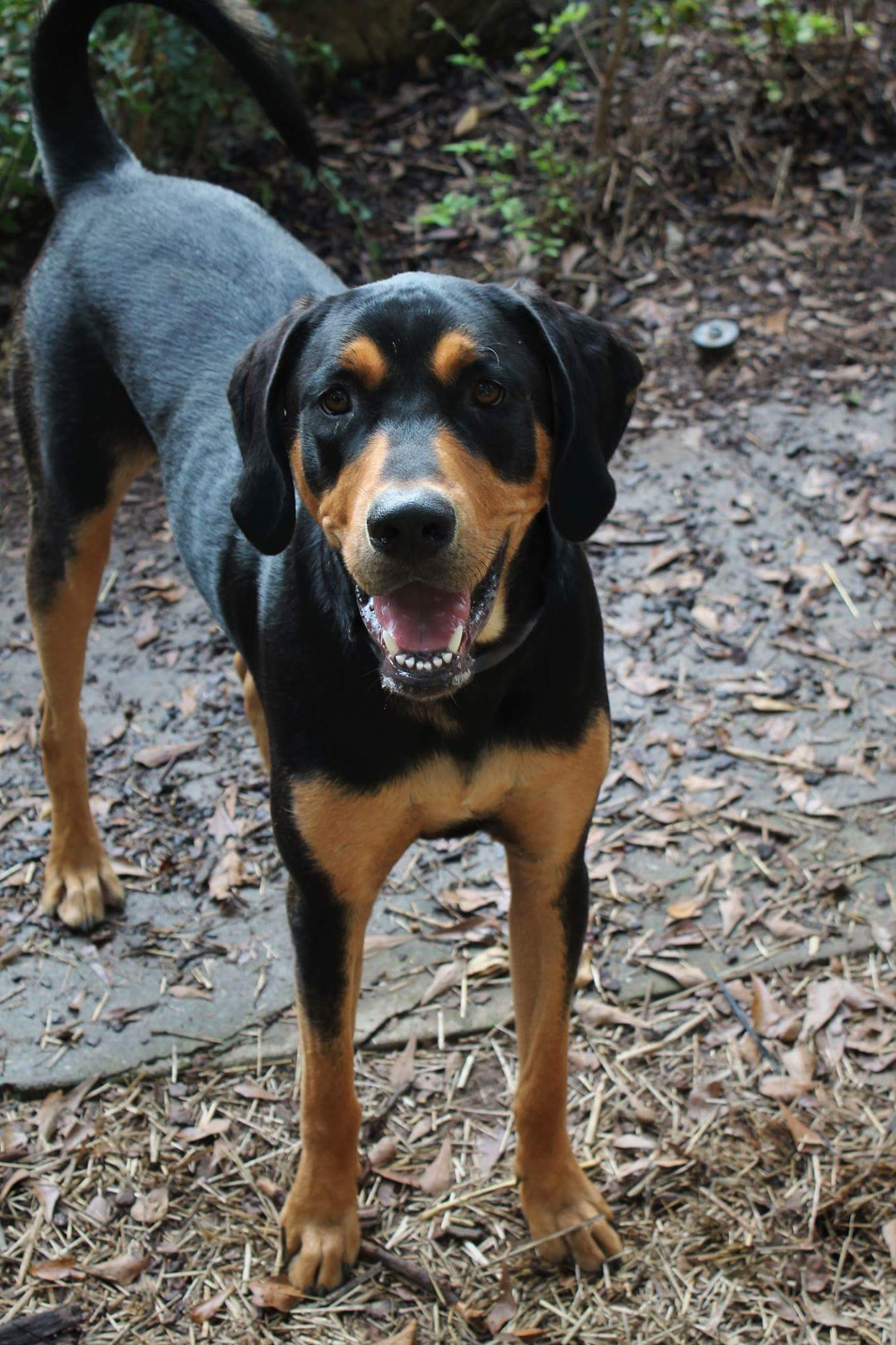 American Black And Tan Coonhound Rescue Saving Coonhounds ...
