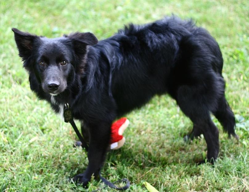 Australian Shepherd ? New dog questions (border collie, vet, breeding
