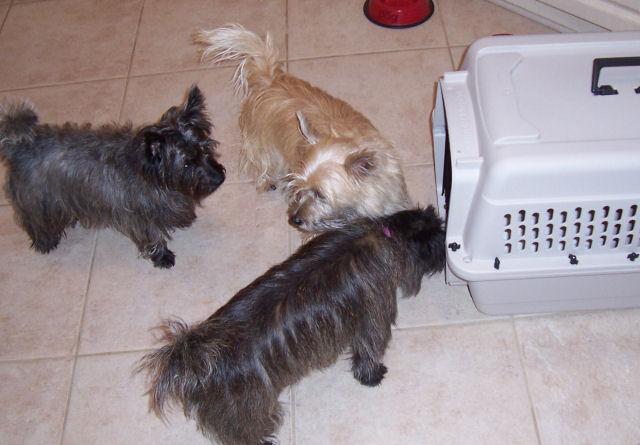 beloved yorkie is yorkie dog price tag line visit us yorkie dog cost ...
