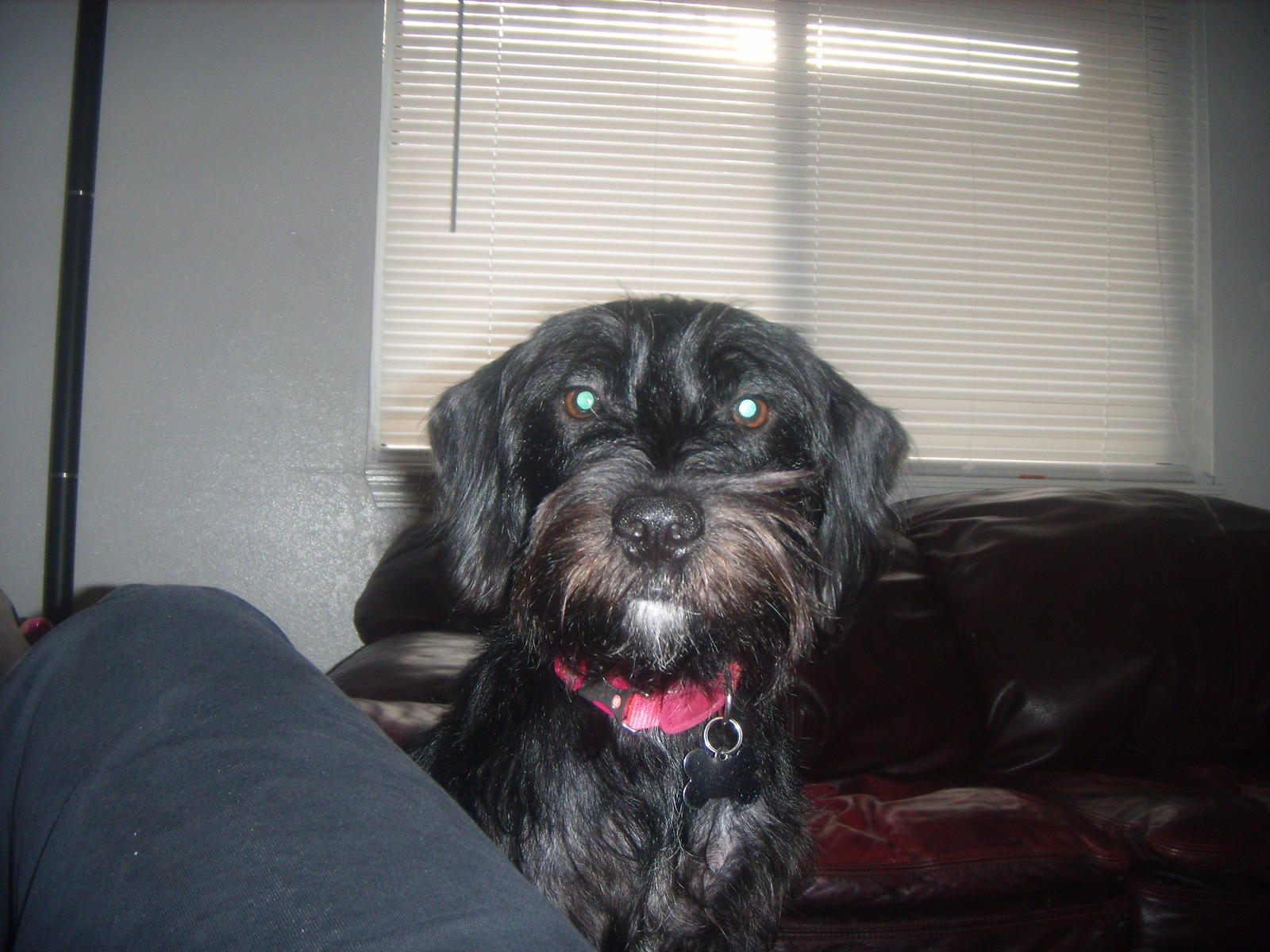Displaying 15> Images For - Wire Haired Dachshund Yorkie Mix...