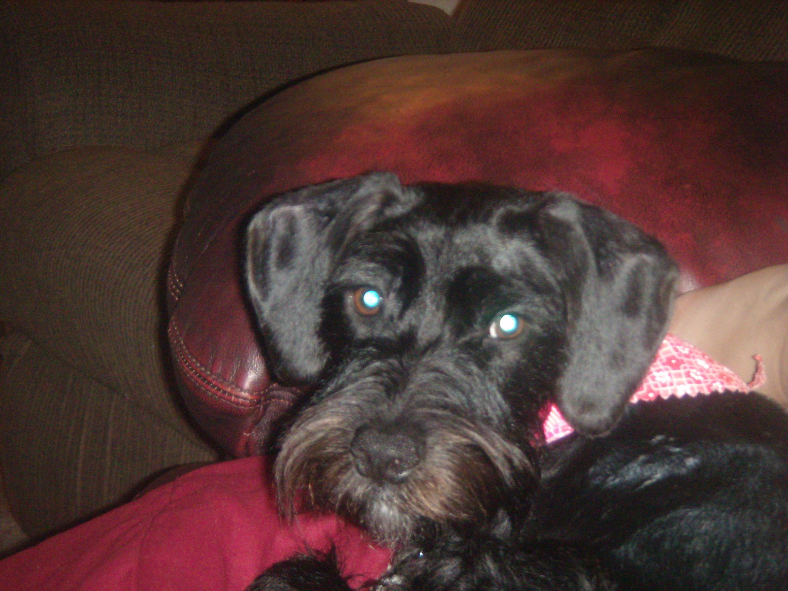 Black Dachshund Jack Russell Mix Vet, schnauzer, dachshund)