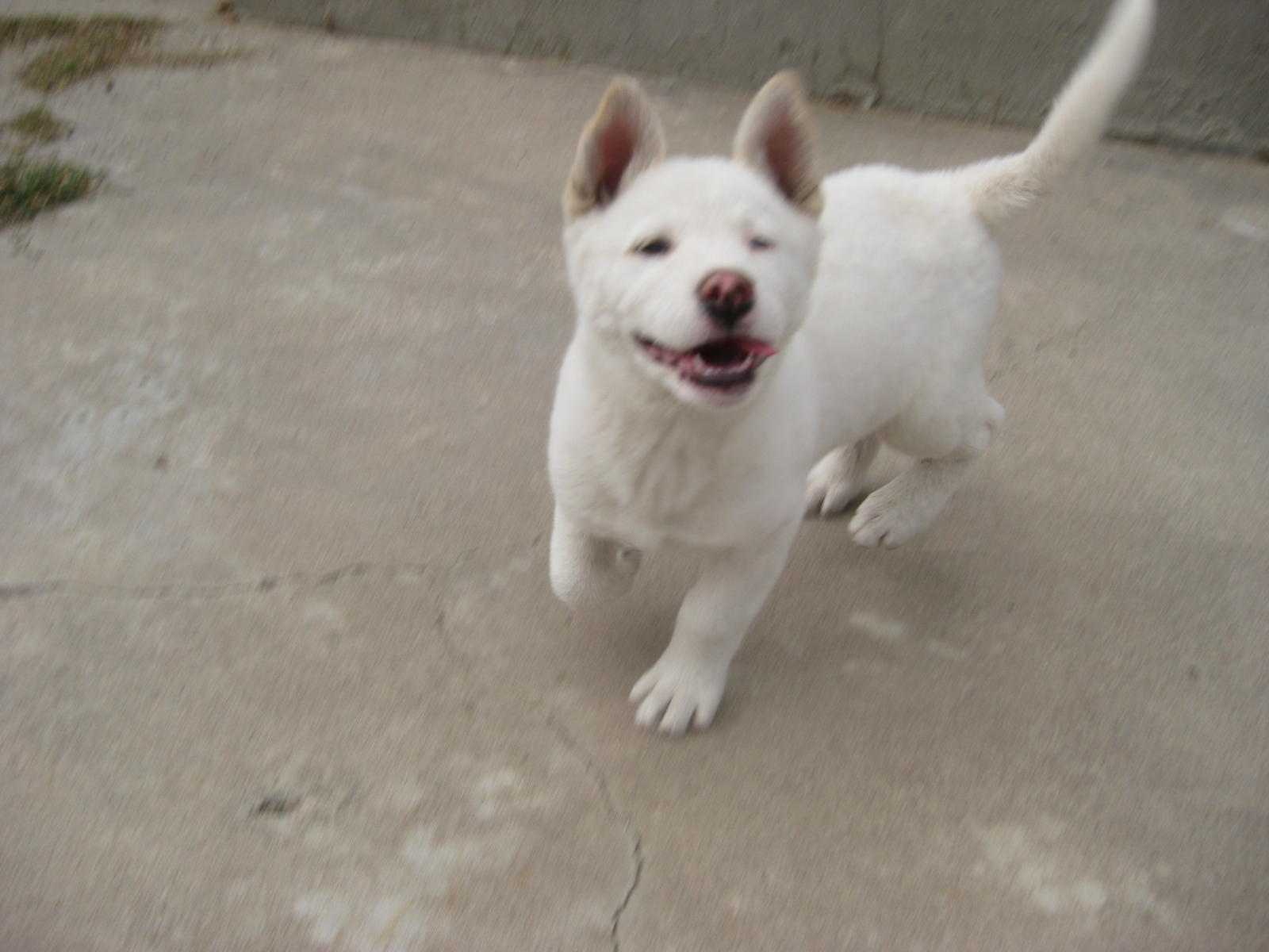 Akita/Husky Puppy Pix! (shepherd, shepherds, aggressive, train ...