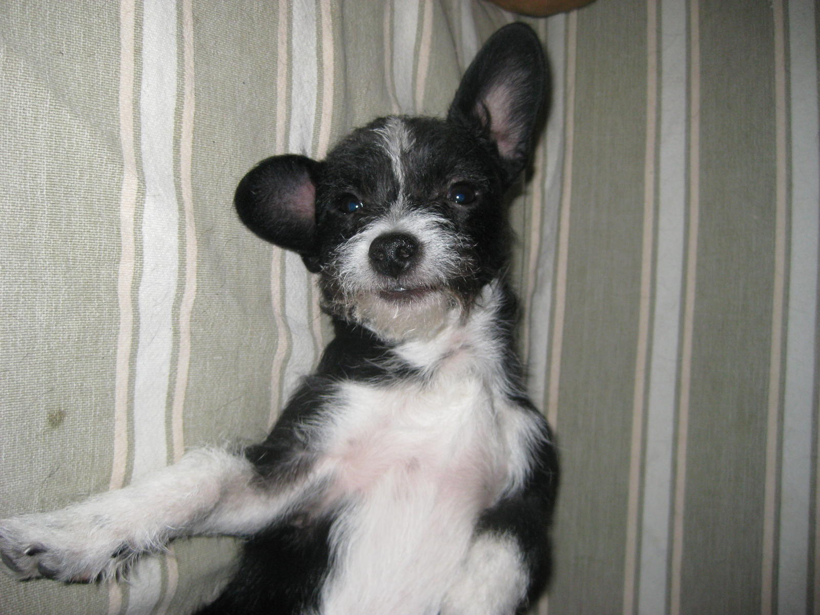 Getting a schnauzer..ears cropped or uncropped? (terrier, training ...
