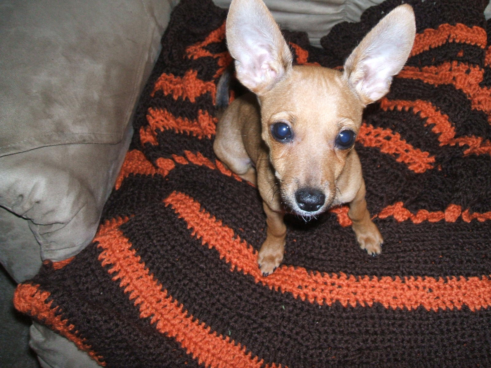 Do you have a Deer Faced Chihuahua?? (terrier, miniature, rescue ...