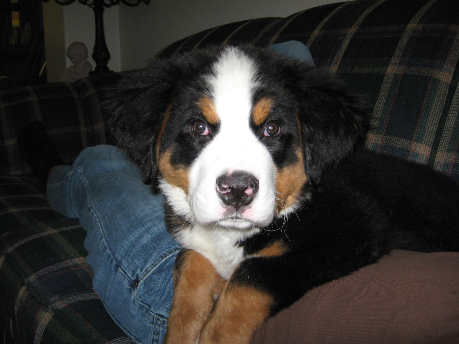 Question For Bernese Mountain Dog Owners Poop Vet