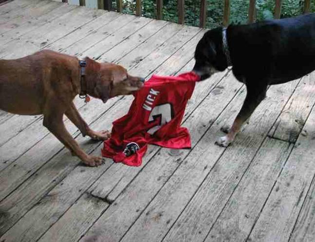 Dog Fighting Vick Dog Fighting   -vick jpg
