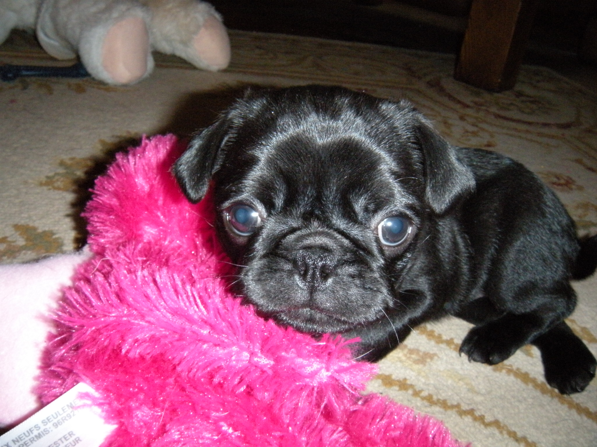 Lilly Pug Baby Black Pugs Puppy Outside Dogs City Data Forum