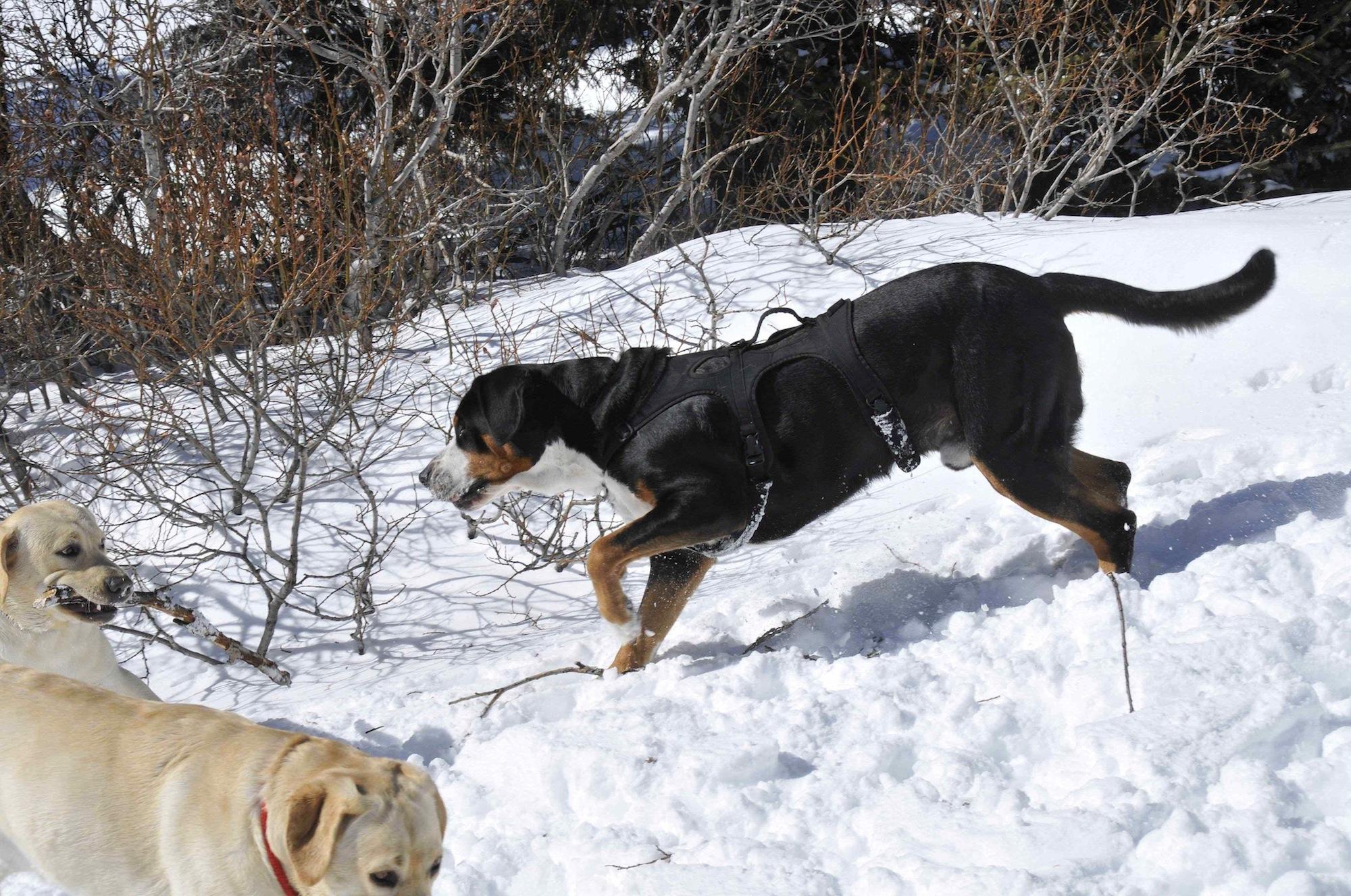 Greater Swiss Mountain Dog Compatibility Vet Breeder Barking