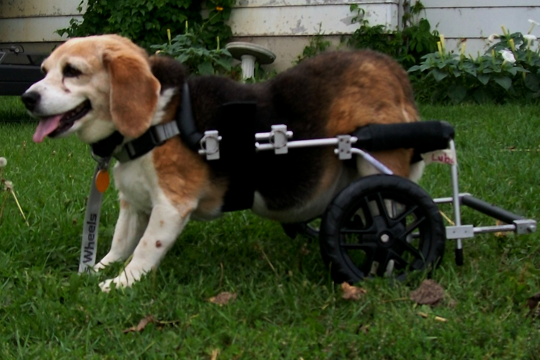 Update on dogs in wheelchairs training natural best food