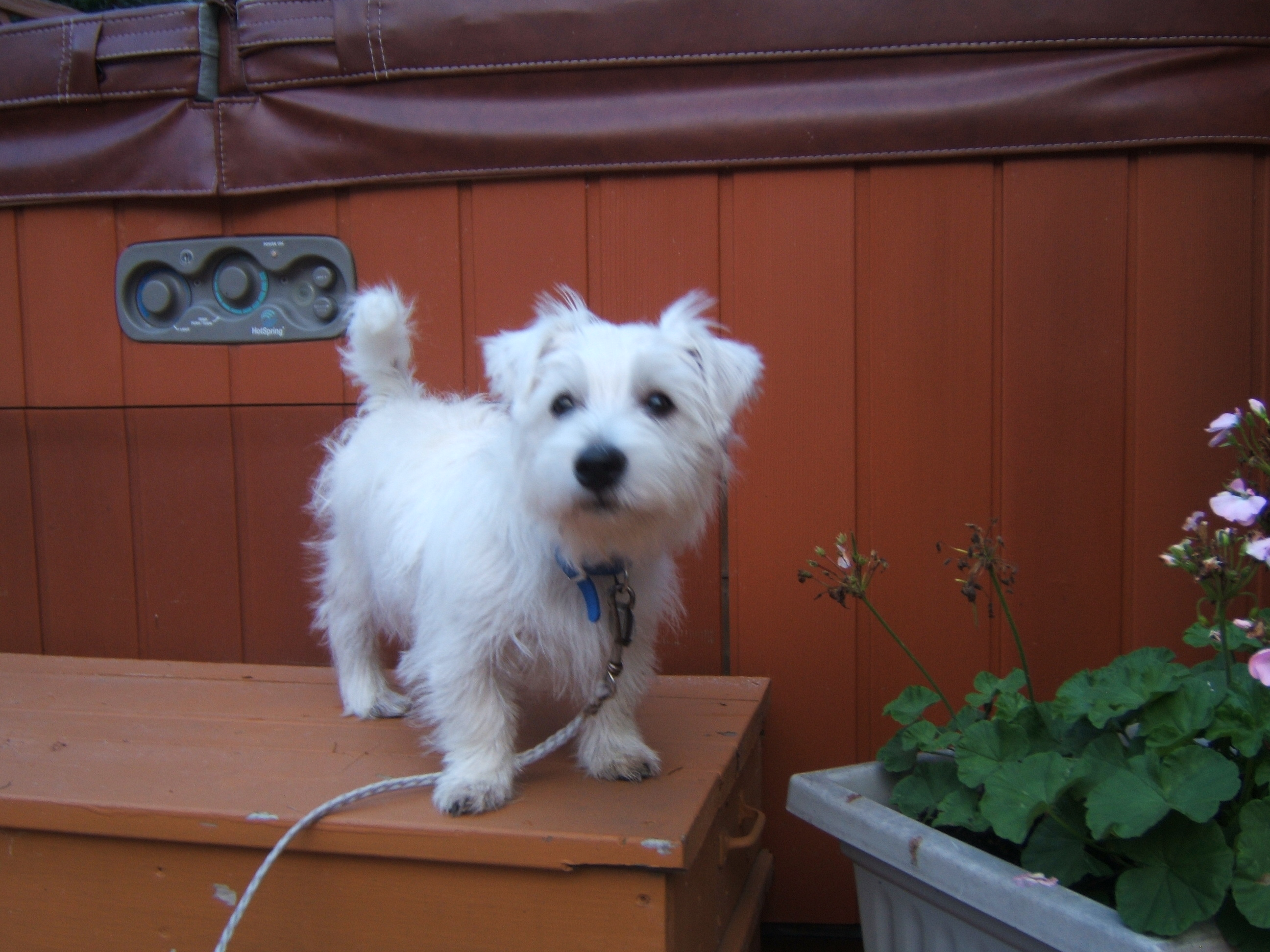 Anyone have Westie puppies/dogs? (barks, outside, breed