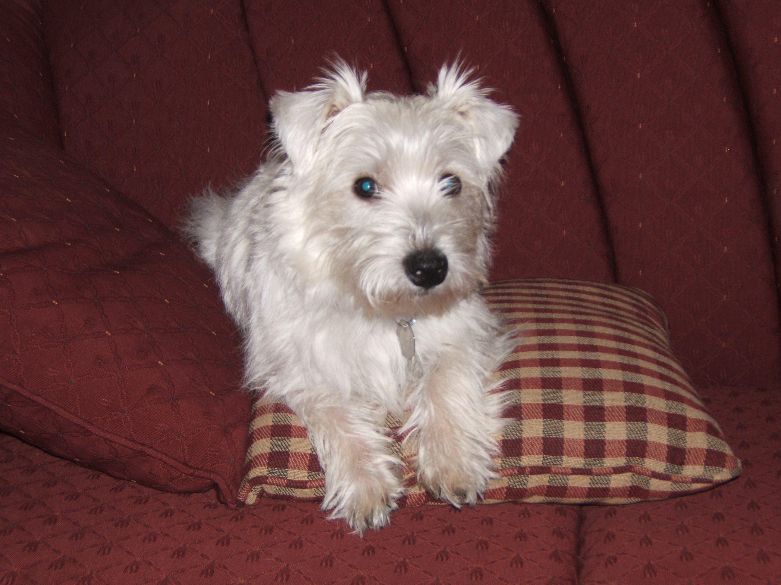 Anyone have Westie puppies/dogs? (yorkies, children, best