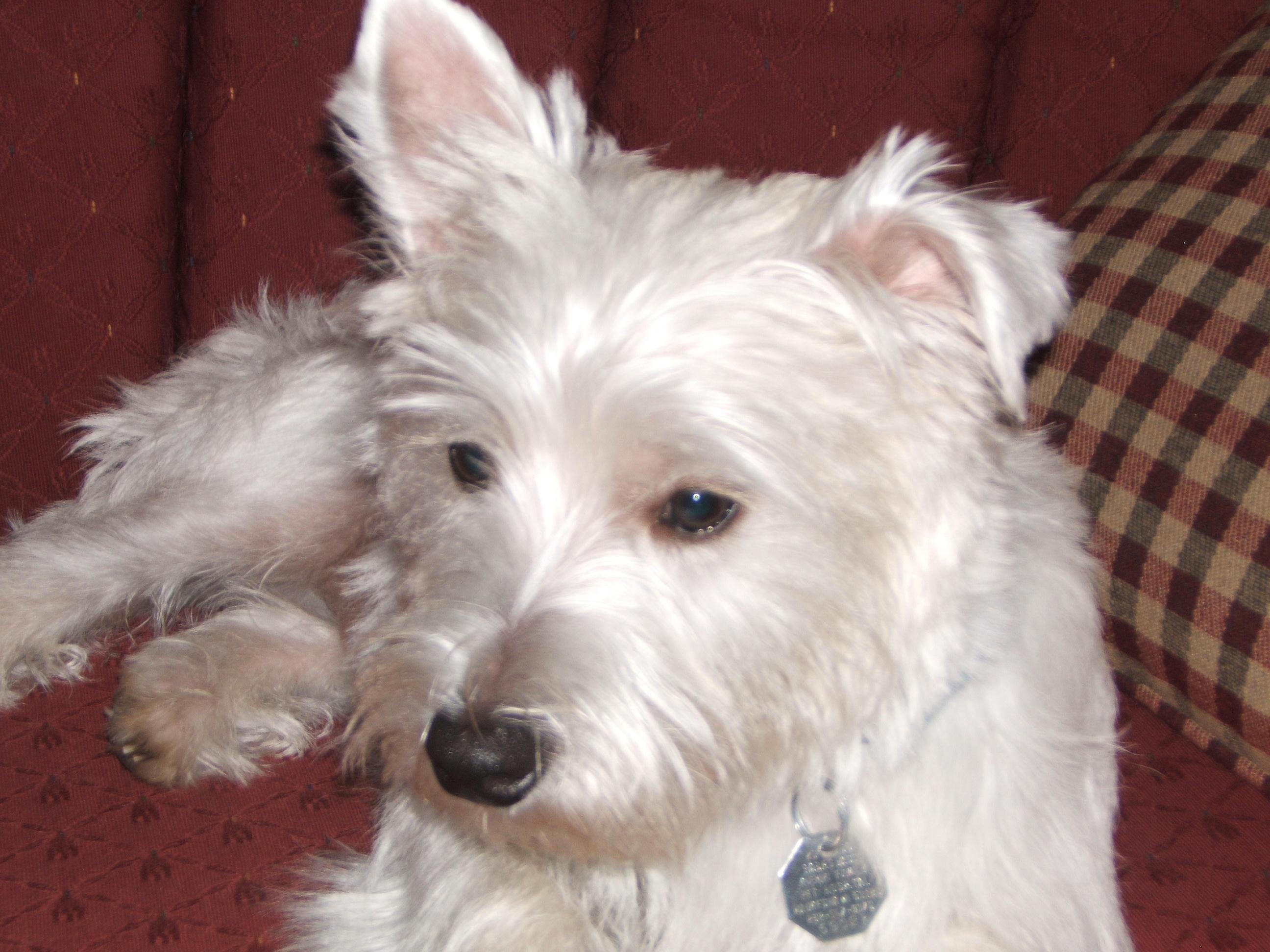 Anyone have Westie puppies/dogs? (teeth, german, grooming