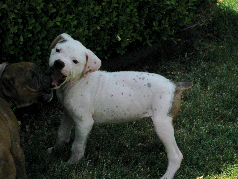Best Looking Dogs (breeds, ears, chocolate, Boston ...