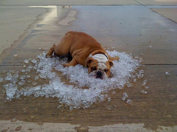 Puppies Need To Cool Down With Ice Too Bulldogs Clean Cough