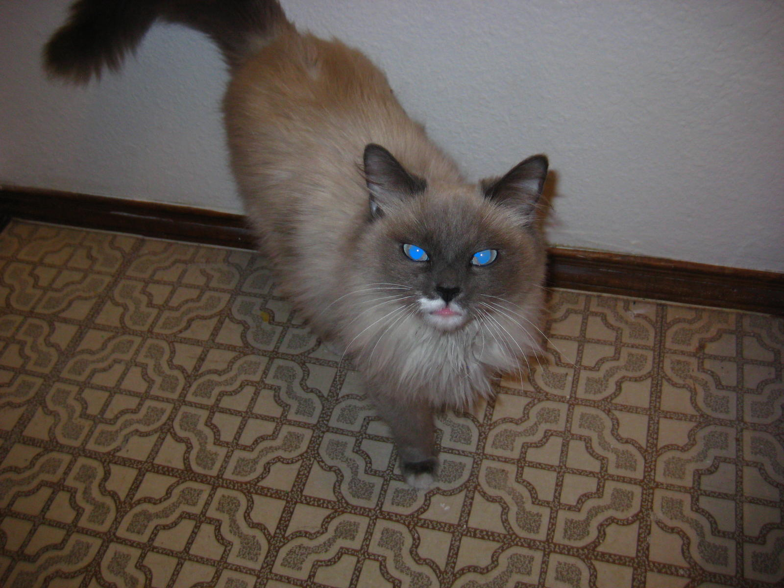 Who Misses A White Cat With Blue Eyes El Paso House Live In Texas Tx City Data Forum