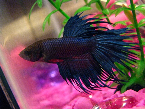 My betta fish needs help happens top place beta for Healthy betta fish