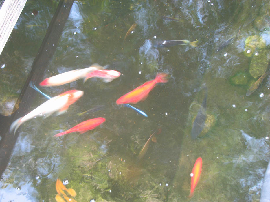 Fish pond picture cichlid koi cover water city for What fish can live with goldfish in a pond