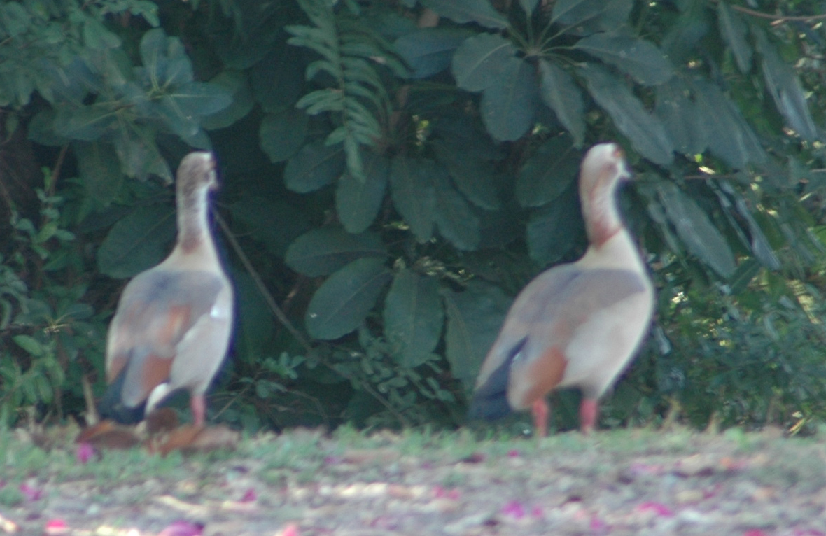 what type of duck bird are these fort lauderdale pompano beach