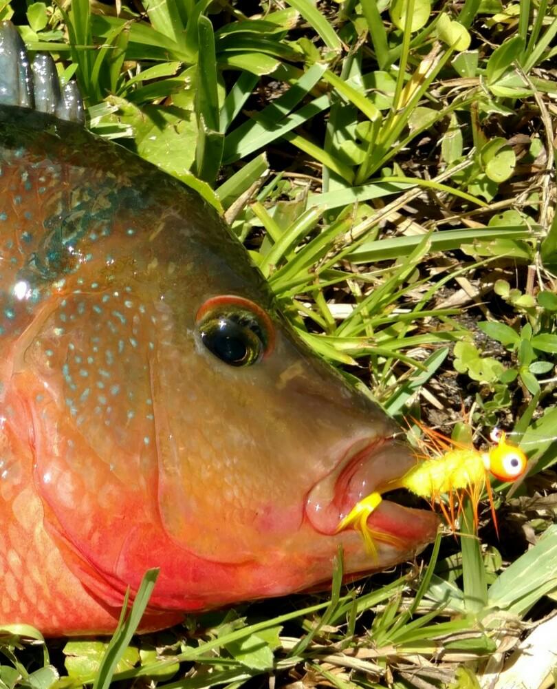 Do you eat tilapia peanut clams crab swordfish for Invasive fish in florida