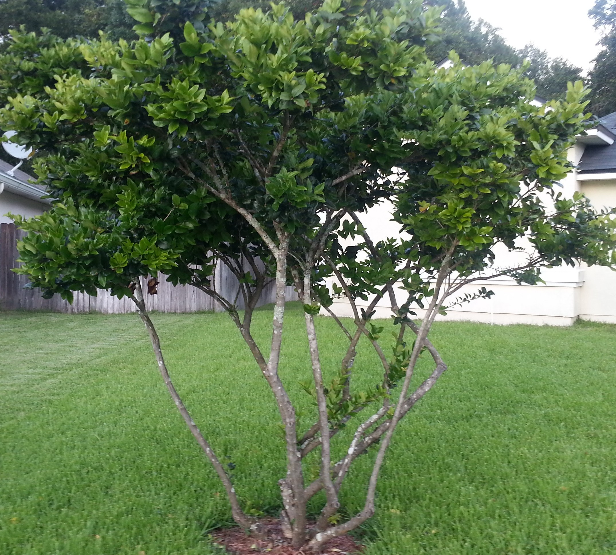 What kind of tree is this pics magnolia trees for Garden city trees
