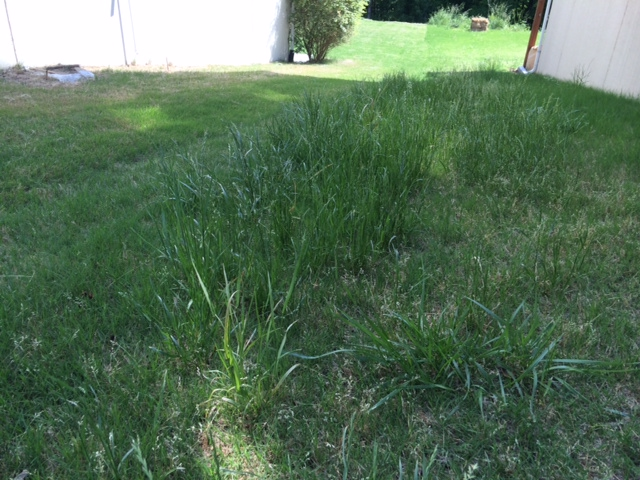 tall grass in the yard...will weed be gone work to kill them - Tall Grass In The Yard...will Weed Be Gone Work To Kill Them ? (lawn
