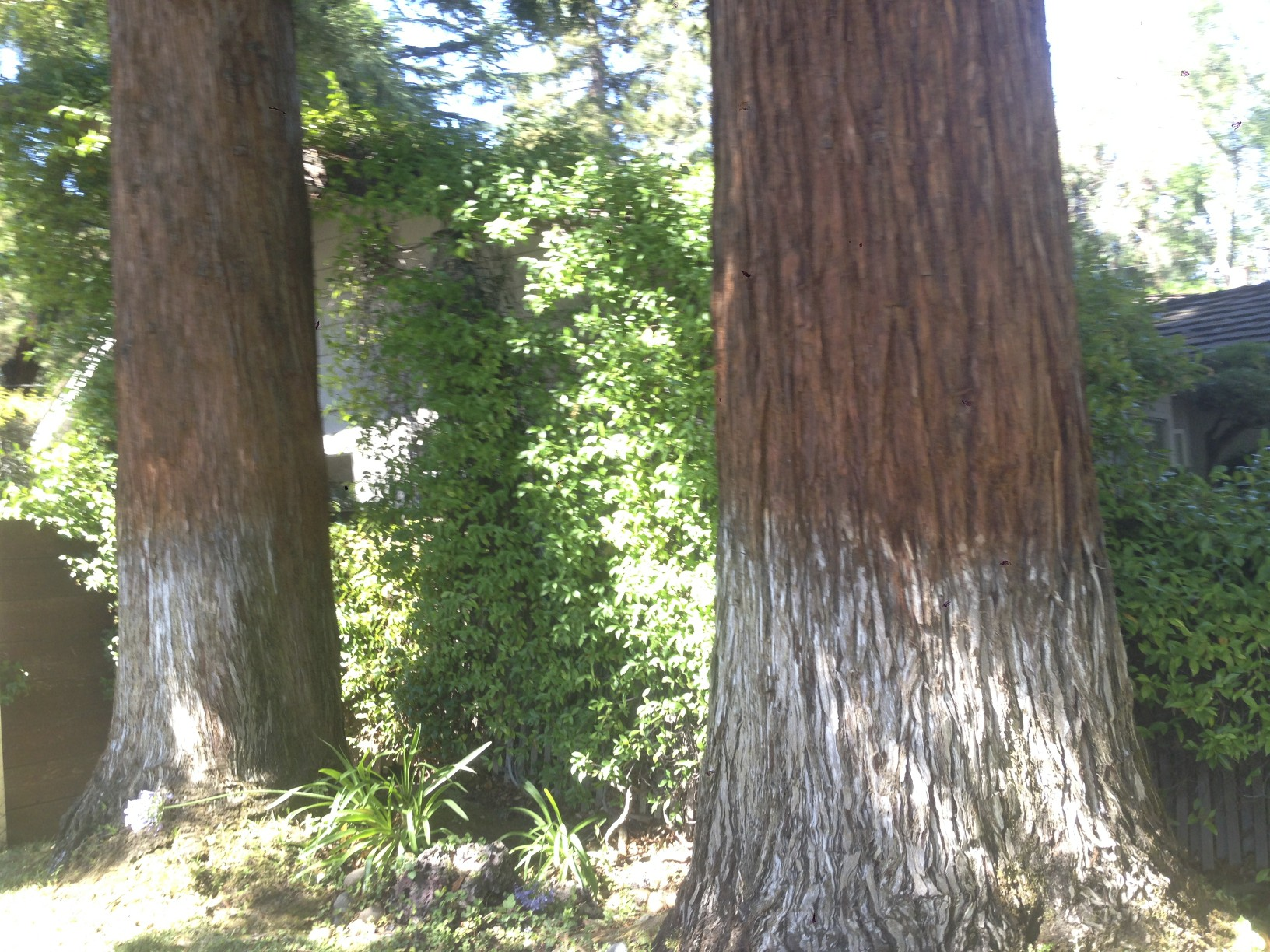 Landscaping With Redwood Trees : Pics redwood trees too close to the house g