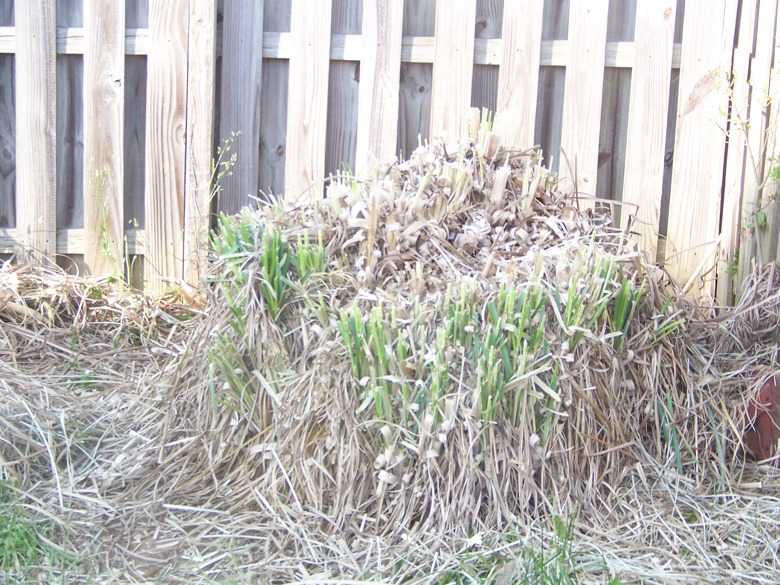 Getting rid of yucky old pampas grass in backyard flower for Landscaping ideas with pampas grass