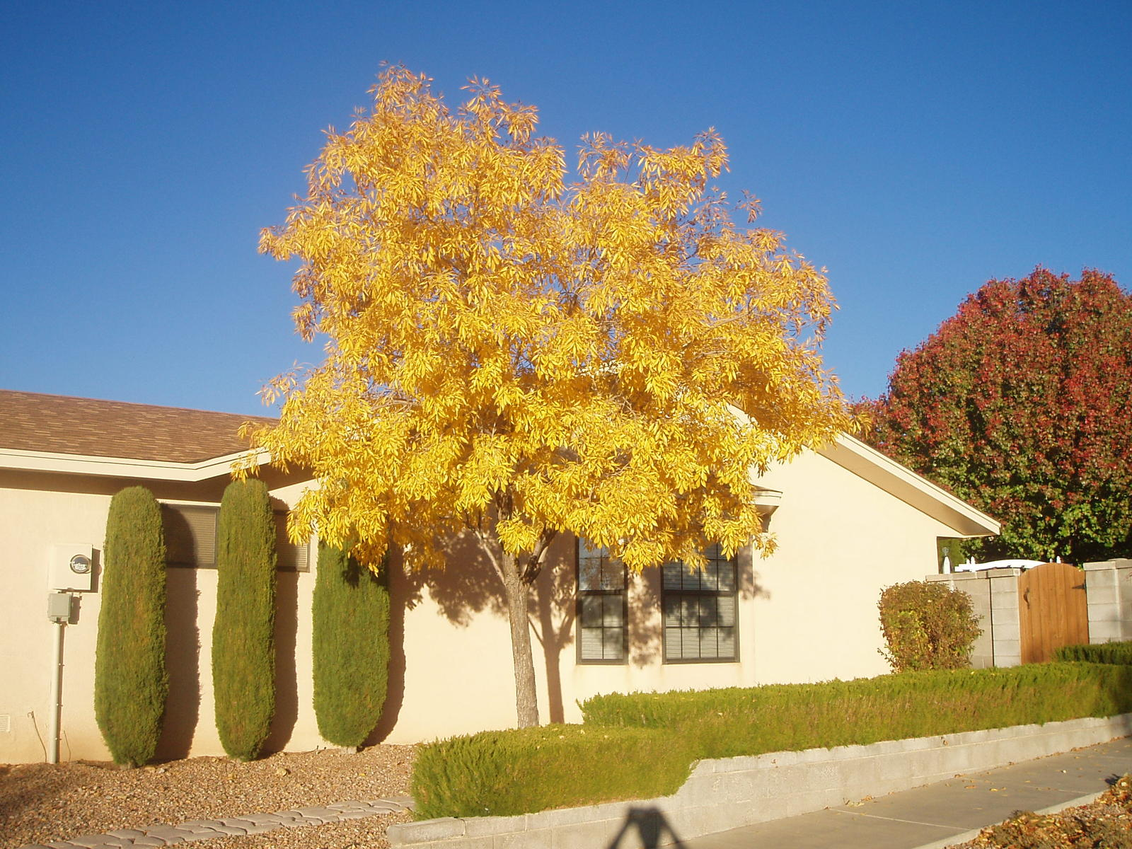 Ash arizona and drought tolerant on pinterest for Drought tolerant trees