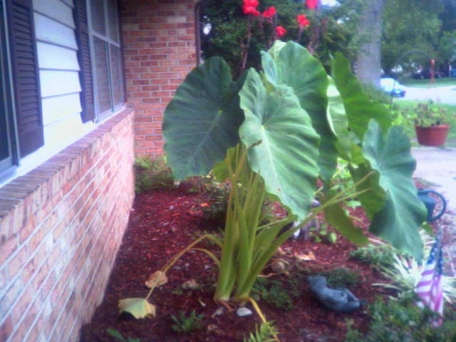 Landscaping with elephant ears plant - Grey gardens dive per sempre ...