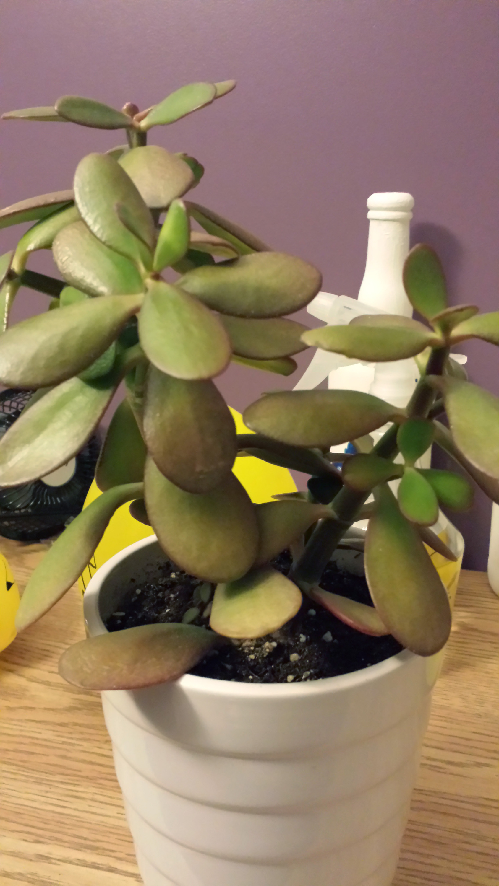 Crassula Jade Plant Turning Brown And Limp Leaves Help Growing
