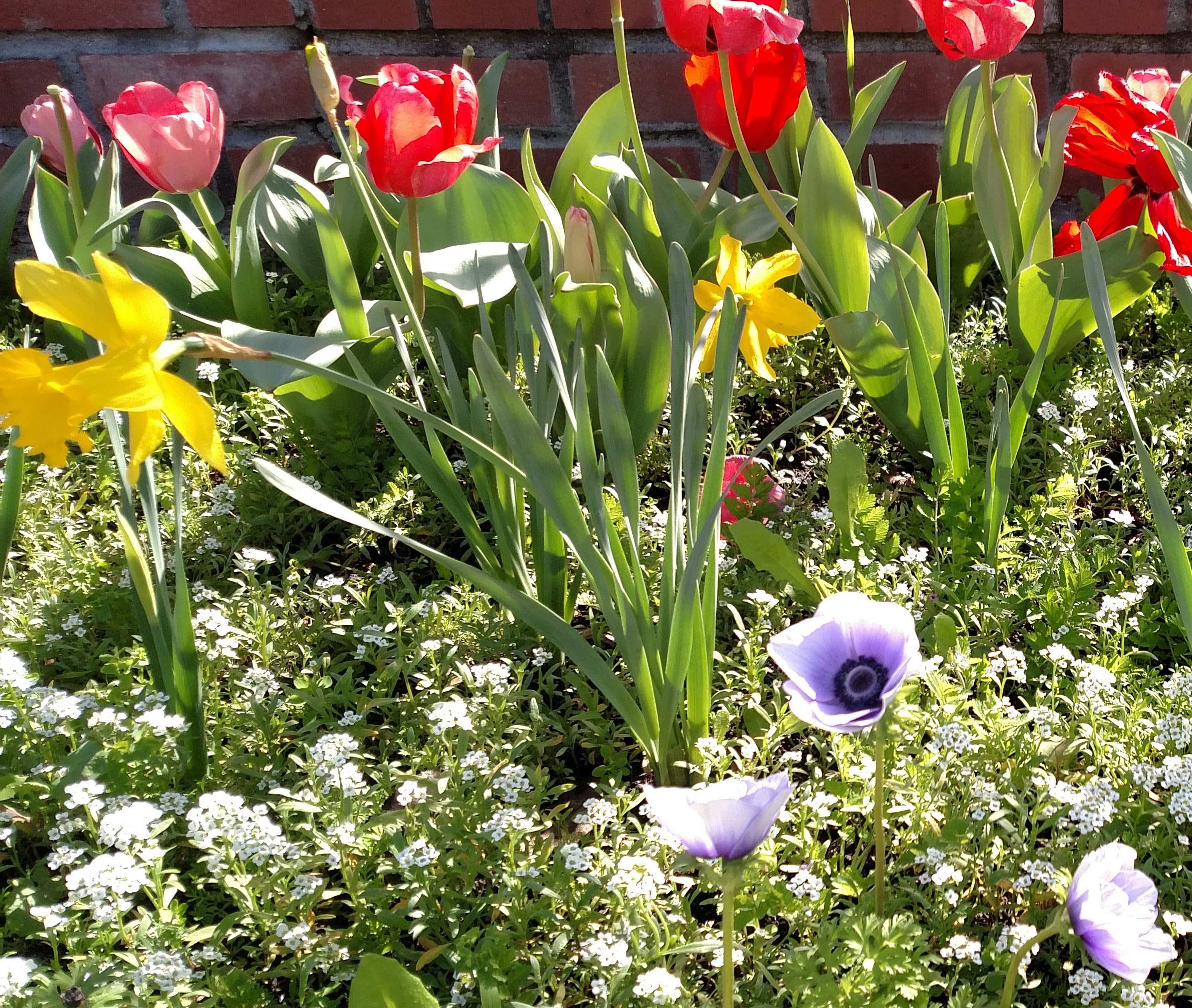 Starting bulb plants from seeds anenomes daffodils tulips growing viole